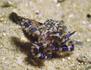 Belle et mortelle : la pieuvre à anneaux bleus