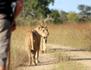 Lions : l'apprentissage de la vie