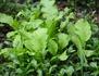 Les plantes vertes comestibles du Pacifique