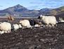 Islande, des montagnes et des moutons