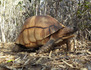 Madagascar, le trafic des tortues angonoka